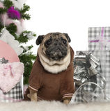 Pug, 6 years old, with Christmas tree and gifts Stock Photo