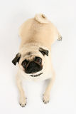 Pug. Lovely pug looking to you Stock Image