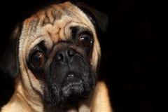 Pug Stock Image