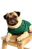 pug Стоковые Изображения