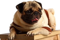 pug Стоковое Изображение RF