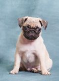 Pug. Puppy pug with name gucy Royalty Free Stock Images