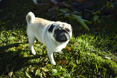 Pug Foto de Stock Royalty Free