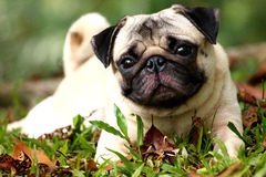 Pug. Sitting in the green Royalty Free Stock Image