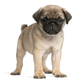 Pug, 8 weeks old, standing in front of white Royalty Free Stock Photos