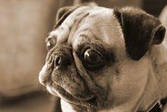 pug Стоковая Фотография