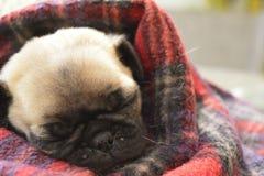 pug Fotografia Royalty Free