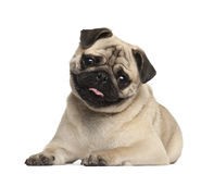 Pug, 9 months old, lying Royalty Free Stock Photography