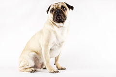 Pug Royalty Free Stock Photography
