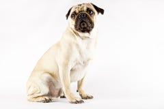 pug Стоковая Фотография RF