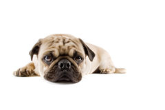Pug. A puppy pug isolated on a white background Stock Photography