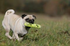 Pug in actie Stock Afbeelding
