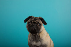 Pug against teal background Stock Image