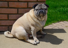 Pug with attitude Stock Photography