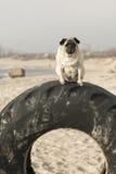 Pug auf Reifen lizenzfreie stockfotografie