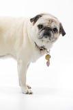 Pug auf Weiß stockfoto