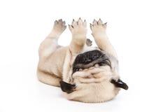 Pug auf weißem Hintergrund Lizenzfreies Stockfoto