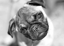 Pug baby. Noodle when she was a baby royalty free stock images