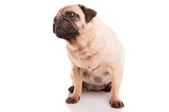 Pug. A baby pug posing isolated over a white background stock photo