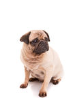 Pug. A baby pug posing isolated over a white background royalty free stock photos