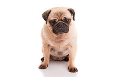 Pug. A baby pug posing isolated over a white background royalty free stock photography