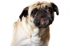 Pug Barking royalty free stock photography