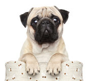 Pug in basket. Pug sits in basket on a white background Stock Photo