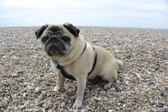 Pug on a Beach Royalty Free Stock Images