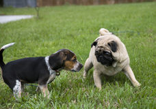 Pug and Beagle Playing Royalty Free Stock Photos