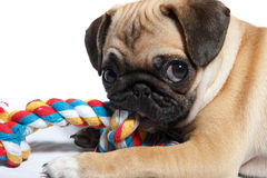 Pug biting toy Royalty Free Stock Photography