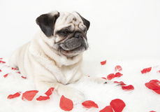 Pug on blanket with rose flowers Royalty Free Stock Photo