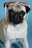Pug on a blue background. Sad summer pug on a blue background Royalty Free Stock Photography