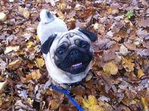 Pug bonito em um dia do outono com a boca levemente aberta Fotos de Stock