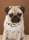 Pug bonito que levanta em um estúdio Foto de Stock