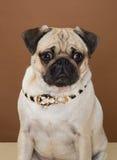 Pug bonito que levanta em um estúdio Fotos de Stock Royalty Free