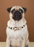 Pug bonito que levanta em um estúdio Fotografia de Stock Royalty Free