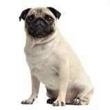 Pug bonito que senta-se em um estúdio branco da foto Foto de Stock Royalty Free