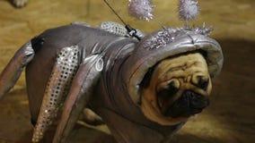 Pug bonito que veste o traje de prata fantástico que levanta aos fotógrafo na exposição de cães filme