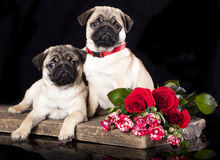 Pug breed puppy Royalty Free Stock Image