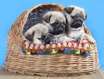Pug breed puppy Royalty Free Stock Photos