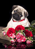 Pug breed puppy Stock Photo