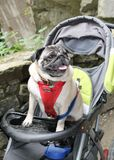 Pug in a buggy Stock Images