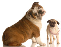 Pug and bulldog. English bulldog with cute expression beside pug puppy that is wearing collar that is too big royalty free stock photography