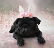 Pug with bunny ears Royalty Free Stock Images