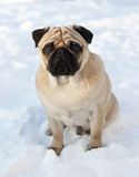 Pug-cão na neve Fotos de Stock Royalty Free