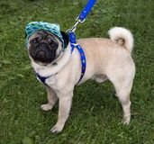 Pug with a cap and blue collar Stock Image