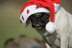 Pug with cap of Santa Claus Royalty Free Stock Image
