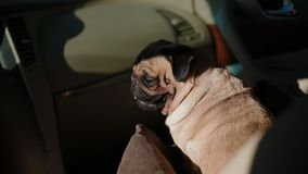 Pug in the car breathing hard stock video footage