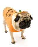 Pug che si leva in piedi in costume di Halloween immagine stock