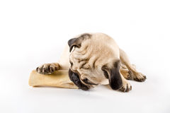 Pug chewing on a bone Stock Image